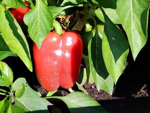 как вырастить рассаду сладкого перца - созревший перец на грядке в парнике
