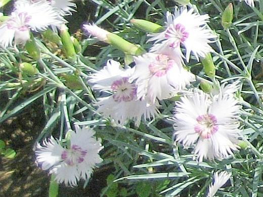 цветы многолетняя гвоздика перистая, посадка и уход - на дачной клумбе