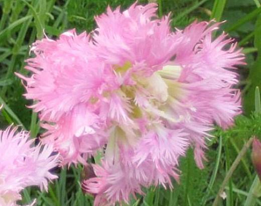 цветы многолетняя гвоздика перистая, посадка и уход