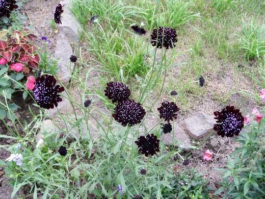 цветы скабиоза, выращивание из семян 1-1