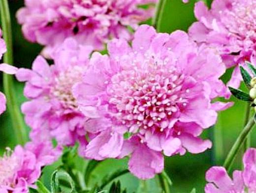 цветы скабиоза, выращивание из семян 1-3