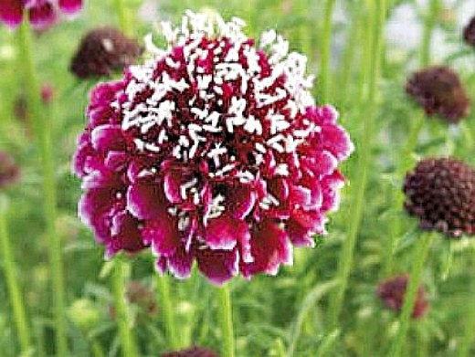 цветы скабиоза, выращивание из семян 1-4