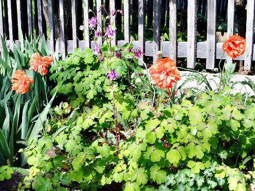 весенние цветы, названия и описание - справа маки, слева водосбор