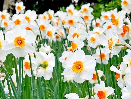 весенние цветы, названия и описание - нарциссы