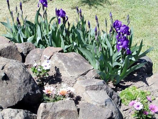 весенние цветы, названия и описание - ирис сетчатый на альпийской горке