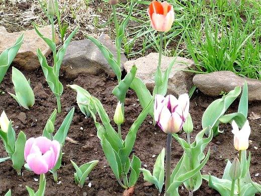 весенние цветы, названия и описание - тюльпаны