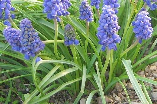 весенние цветы, названия и описание - мускари