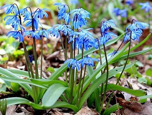 весенние цветы, названия и описание - весенняя пролеска
