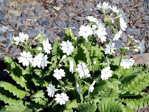 весенние цветы, названия и описание - примулы белые