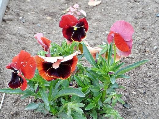 весенние цветы, названия и описание - виола