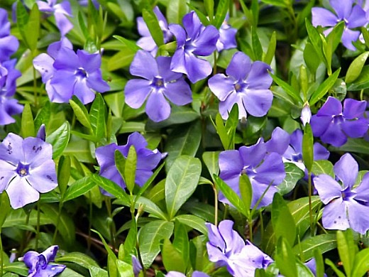 весенние цветы, названия и описание, барвинок