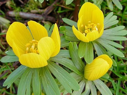 весенние цветы, названия и описание, эрантис
