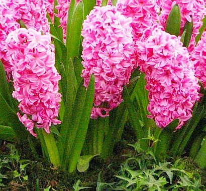 весенние цветы, названия и описание, гиацинты