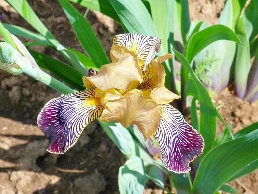 весенние цветы, названия и описание, ирис сетчатый