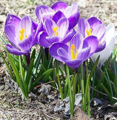 весенние цветы, названия и описание, крокусы
