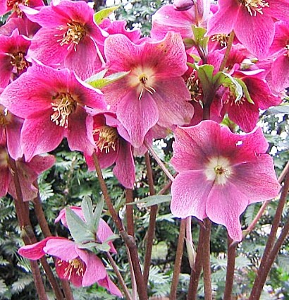 весенние цветы, названия и описание, морозник