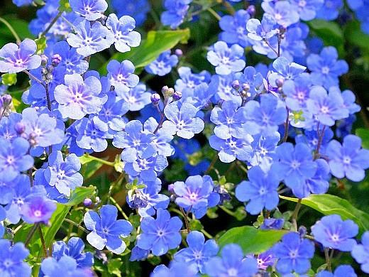 весенние цветы, названия и описание, незабудка
