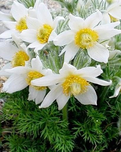 весенние цветы, названия и описание, прострел