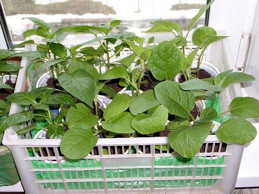 выращивание рассады баклажанов в домашних условиях - пикирование