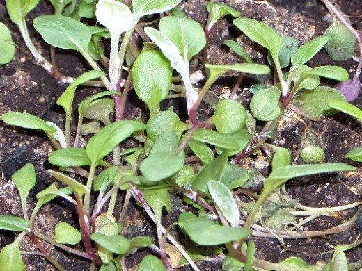 выращивание рассады баклажанов в домашних условиях - взошедшие семена