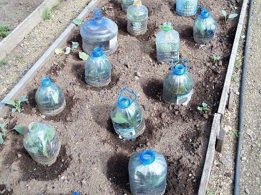 выращивание рассады капусты в домашних условиях - пересадка под емкостина грядки по миттлайдеру