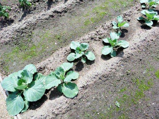 выращивание рассады капусты в домашних условиях - посадка на грядки по методу миттлацдера