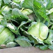выращивание рассады капусты в домашних условиях - урожай