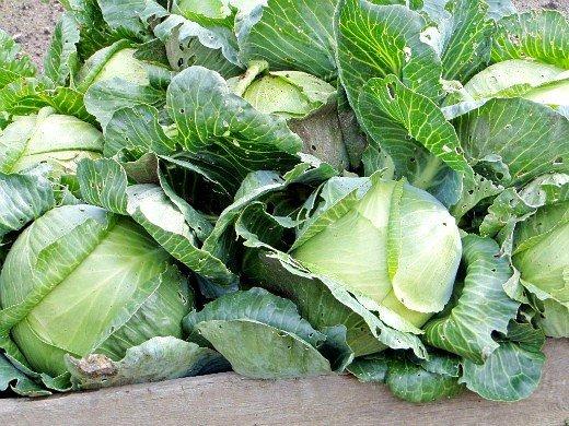 выращивание рассады капусты в домашних условиях - урожай на огороде
