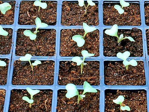 выращивание рассады капусты в домашних условиях - в кассетах