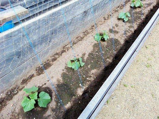 выращивание рассады огурцов в домашних условиях - пересадка в парник