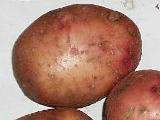 лучшие сорта картофеля с описанием для разных регионов, нарочь