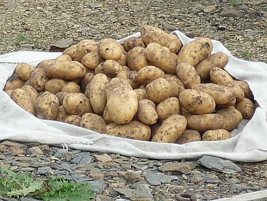лучшие сорта картофеля с описанием для разных регионов, ласунок