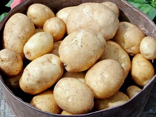 лучшие сорта картофеля с описанием для разных регионов