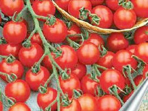 мелкоплодные сорта высокорослых томатов для открытого грунта и теплиц - черри бусинка