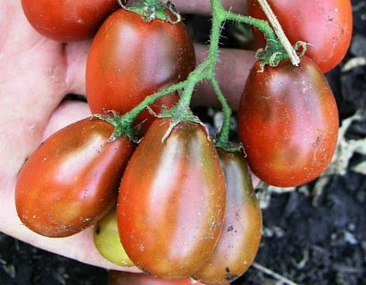 мелкоплодные сорта высокорослых томатов для открытого грунта и теплиц - шоколадный зайчик