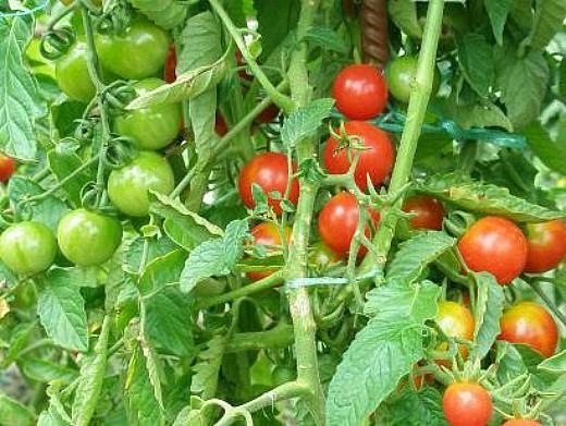 мелкоплодные сорта высокорослых томатов для открытого грунта и теплиц - здоровая жизнь