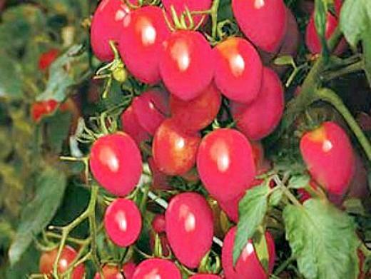 мелкоплодные сорта высокорослых томатов для открытого грунта и теплиц - розовый изюм