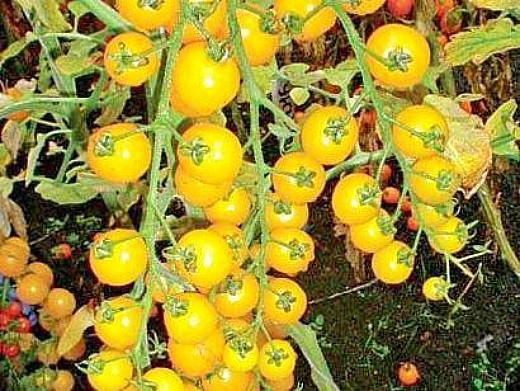 мелкоплодные сорта томатов для открытого грунта и теплиц 2
