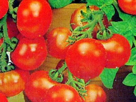 мелкоплодные сорта низкорослых томатов для открытого грунта и теплиц - минибел