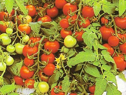 мелкоплодные сорта высокорослых томатов для открытого грунта и теплиц - гартен флойд