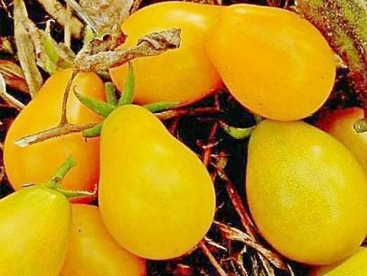 мелкоплодные сорта высокорослых томатов для открытого грунта и теплиц - вагнер мирабель