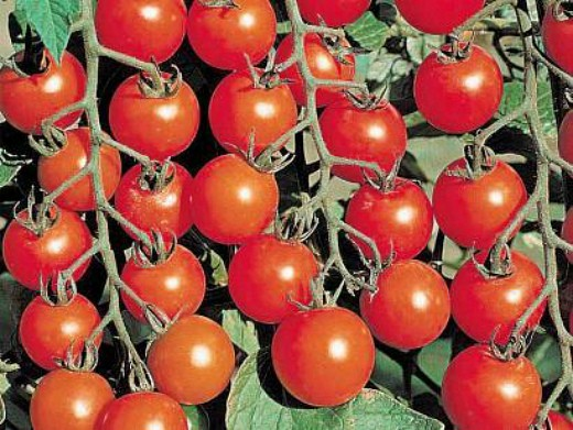 мелкоплодные сорта высокорослых томатов для открытого грунта и теплиц - вишня