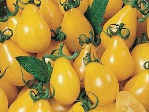 мелкоплодные сорта высокорослых томатов для открытого грунта и теплиц - медовая капля