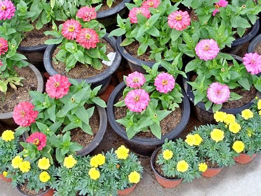 цветы для клумбы, цветущие всё лето - цинния