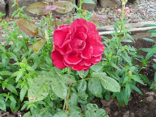 цветы для клумбы, цветущие всё лето - розы
