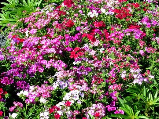 цветы для клумбы, цветущие всё лето - флоксы однолетние