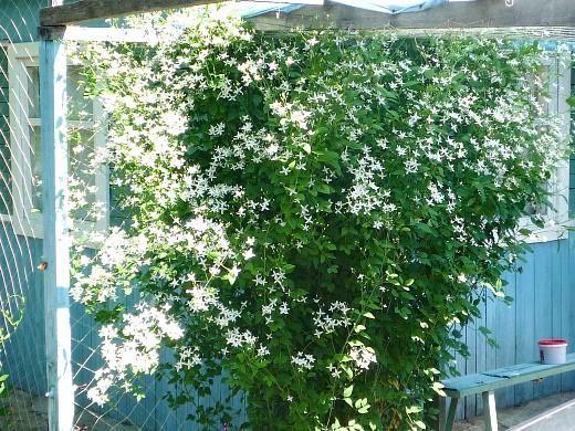 цветы для клумбы, цветущие всё лето - клематис, растущий на перголе