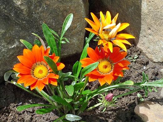 цветы для клумбы, цветущие всё лето - гацания (газзания) на альпийской горке