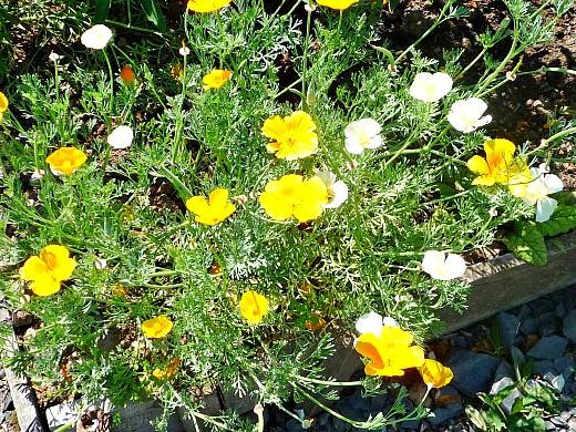цветы для клумбы, цветущие всё лето - эшшольция на клумбе