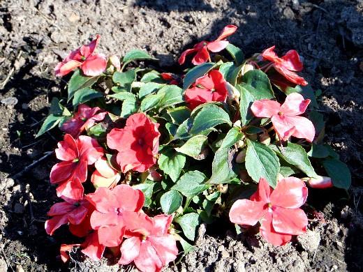 цветы для клумбы, цветущие всё лето - бальзамин низкорослый